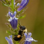 Blue Lobelia and Bee