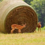 Whitetail Deer Fawns and Hay Roll